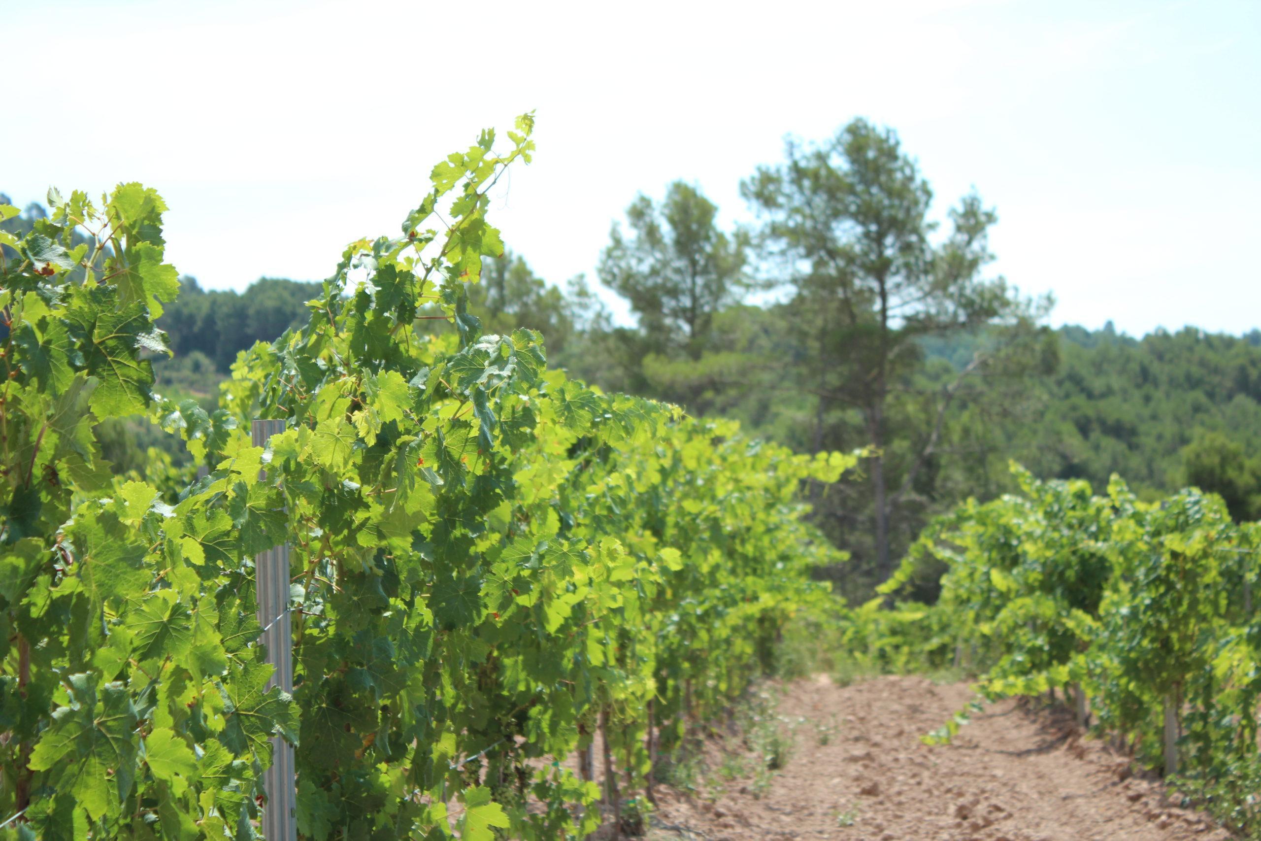 vi blanc Picapoll